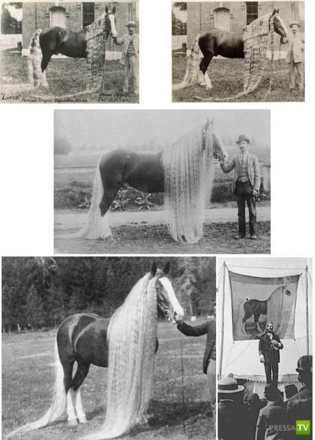 Линус - самая длинногривая и длиннохвостая лошадь в мире ...