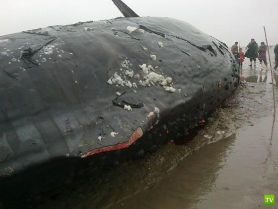Китов живьем порезали на мясо (7 фото)
