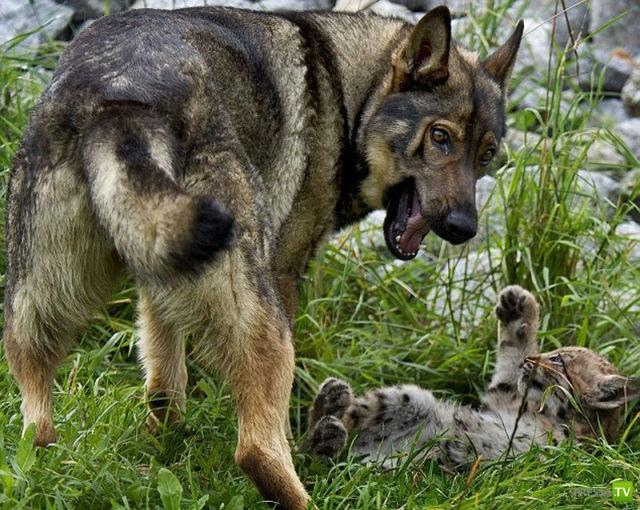 Немецкая овчарка выкормила рысят (7 фото)