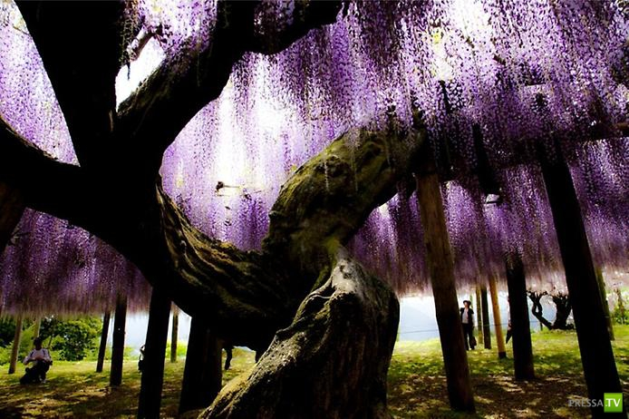 Кавати Фудзи - Сад сказочных цветов ... (16 фото)