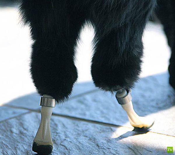 Кот с протезами вместо ног (11 фото)