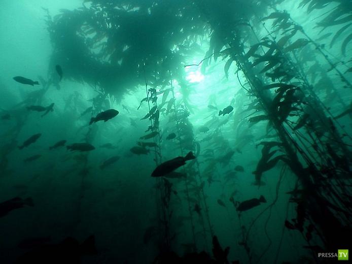 Подводный лес из водорослей ... (11 фото)