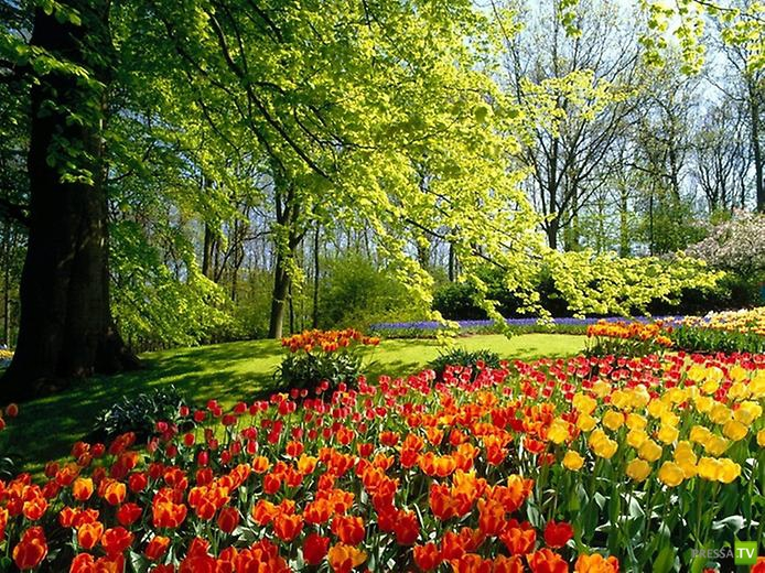 Цветные сады Кёкенхоф ... (10 фото)