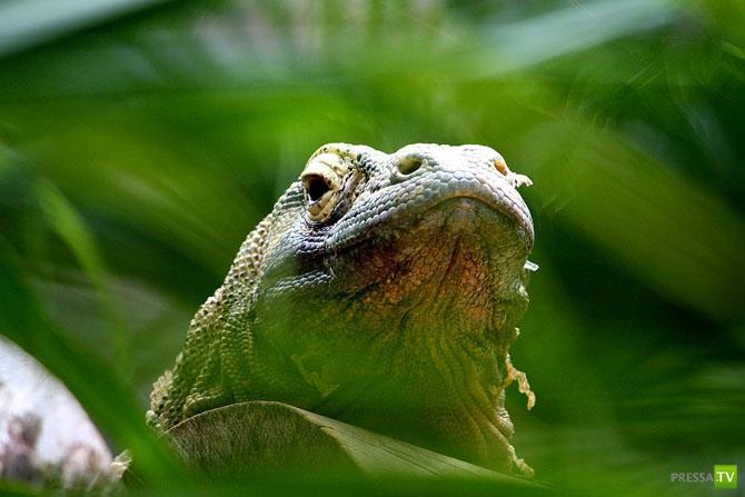 Драконы острова Комодо ... (21 фото)