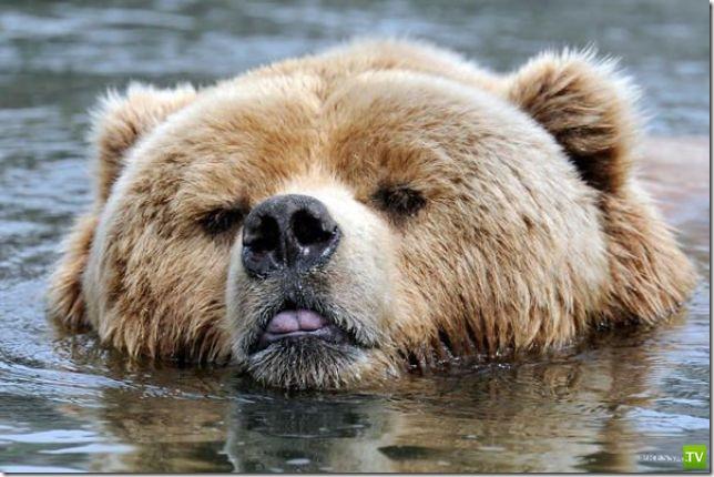 Все животные умеют плавать ... (11 фото)