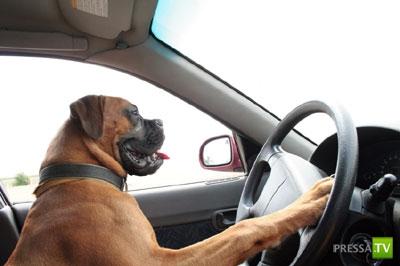 В Москве собаки угнали автомобиль, устроили ДТП и скрылись ...