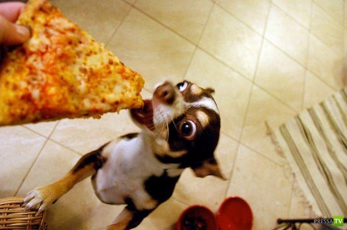 Собаки едят пиццу (20 фото)