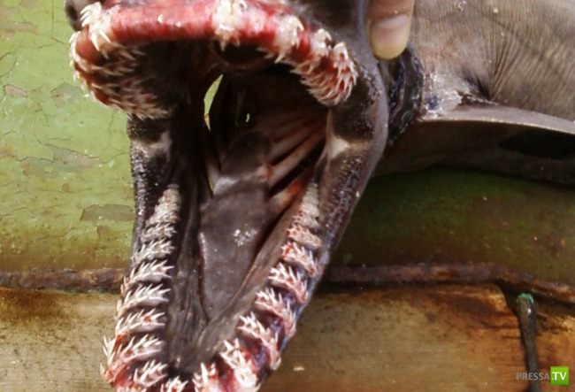 У берегов Шпицбергена поймали редчайшую древнюю акулу ... (2 фото)