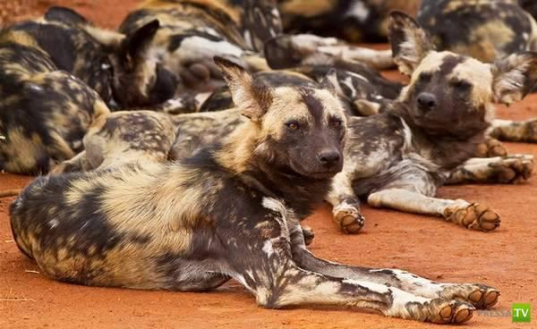 10 трудоголиков среди животных ... (20 фото)