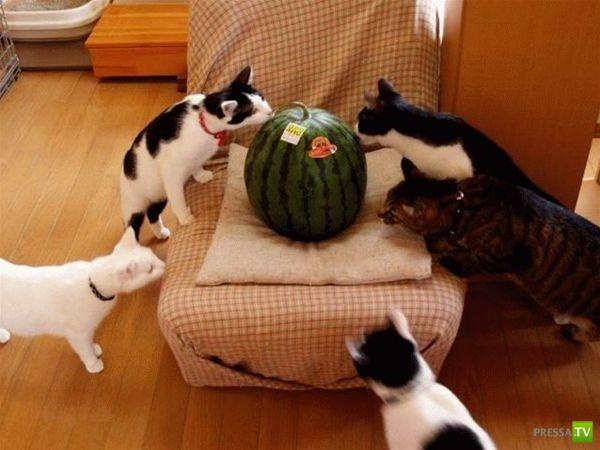 Кошачья любовь к арбузам (9 фото)