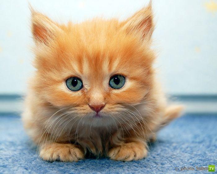 Эти забавные животные - котята (55 фото)