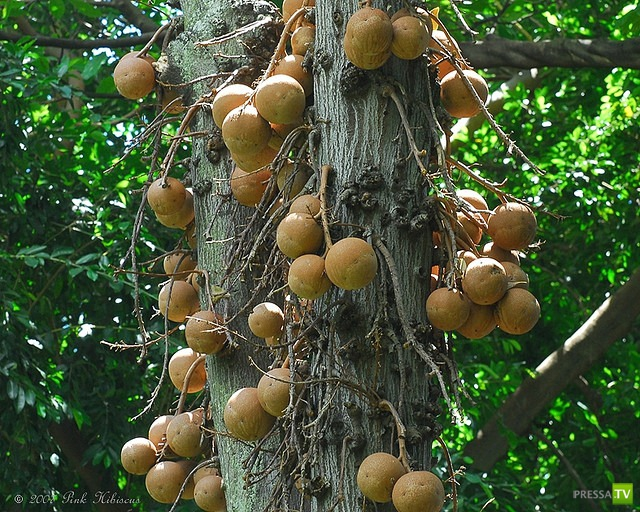 Couroupita guianensis - пушечное дерево (8 фото)