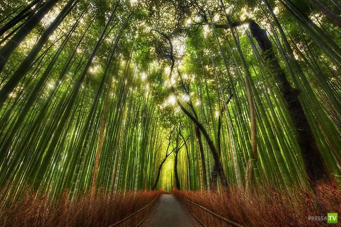 Бамбуковый лес Сагано ... (8 фото + видео)