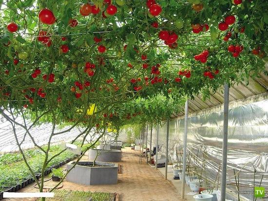 Растут ли помидоры на деревьях ? (3 фото)