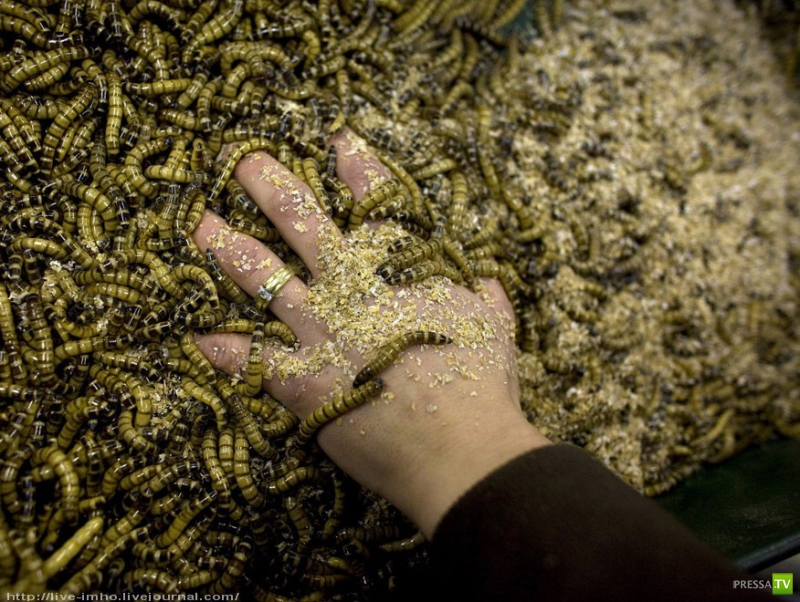 Учимся готовить насекомых! (35 фото)