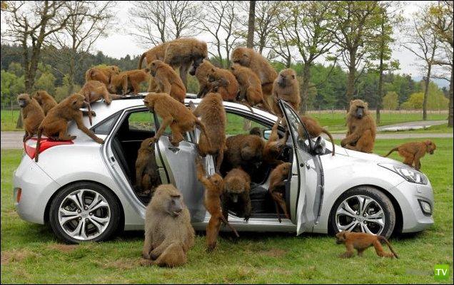 40 бабуинов и семейный хэтчбек Hyundai (6 фото)