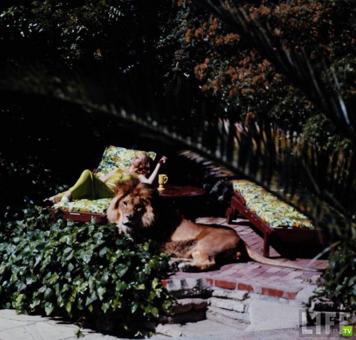 Лев - домашний питомец (18 фото)