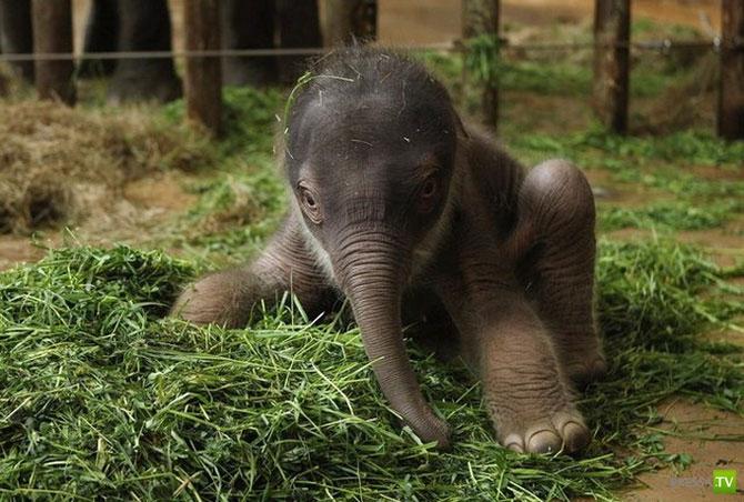 Новорожденный слоненок в зоопарке Берлина ... (8 фото)