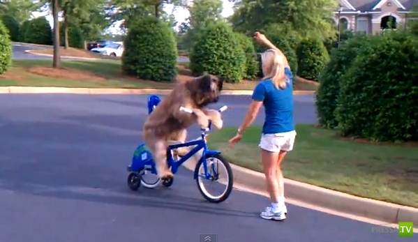 Крутой велосипедист - пес Норманн (фото + видео)