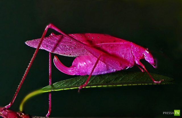 Вот, это да! Розовый кузнечик (8 фото)