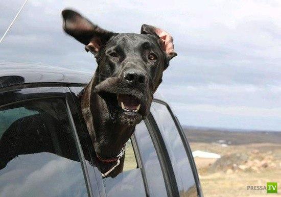 Почему собаки высовывают морду из машины? (6 фото)