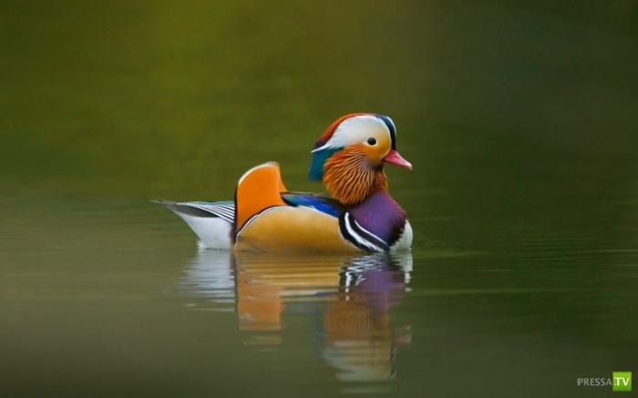Очень яркая утка-мандаринка (5 фото + видео)