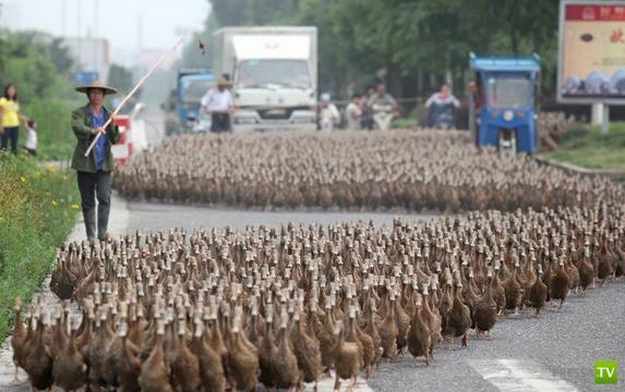5000 китайских уток идут на пруд (7 фото)