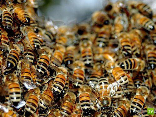 Массовая гибель пчел по всему миру...