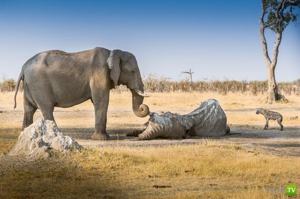 Интересное о слонах...