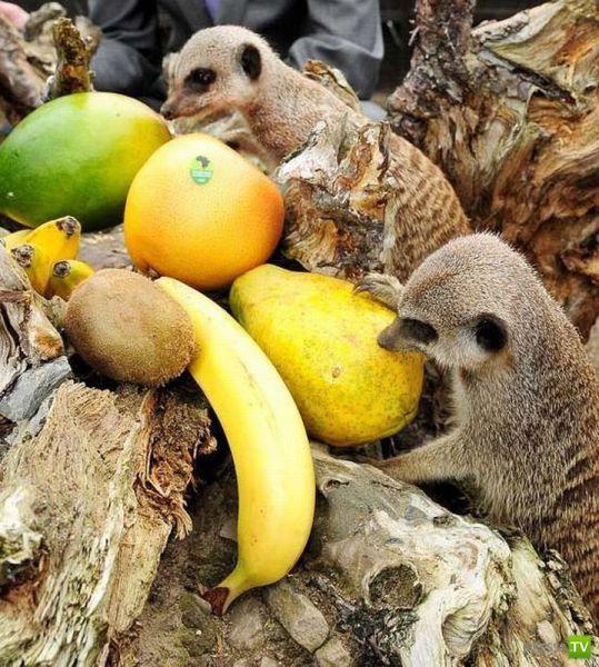 Дикие животные поедающие плоды фото