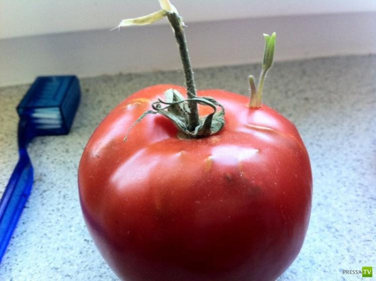 Один жизнелюбивый помидор... (12 фото)