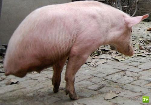 Необычная китайская свинья (4 фото)