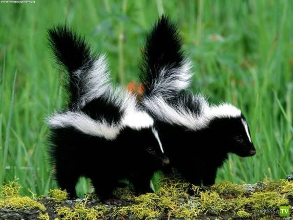 7 самых вонючих животных (15 фото)