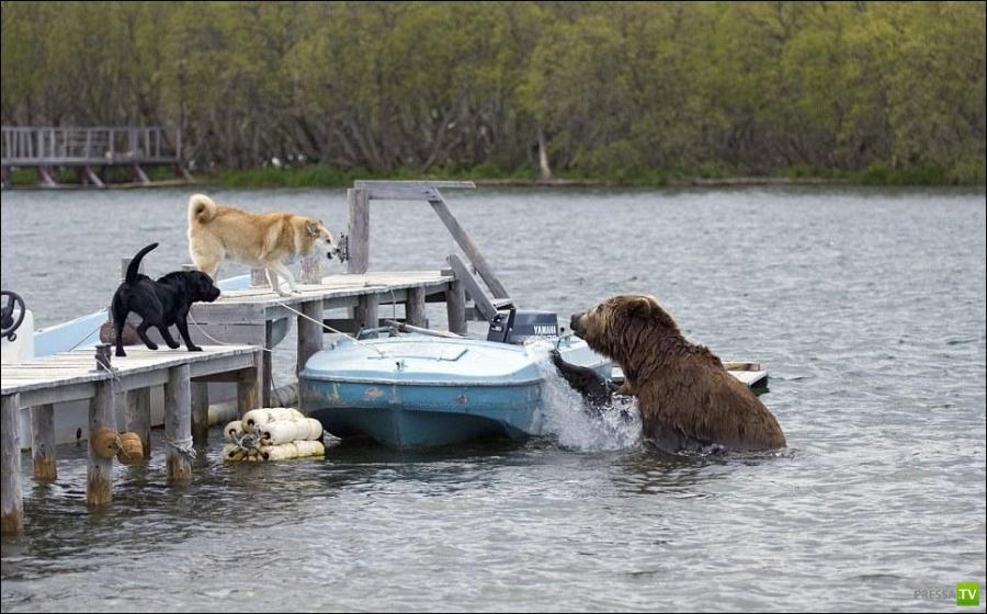 Голодный медведь (3 фото)
