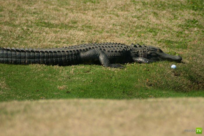 Опасная игра в гольф на Гавайях (20 фото)