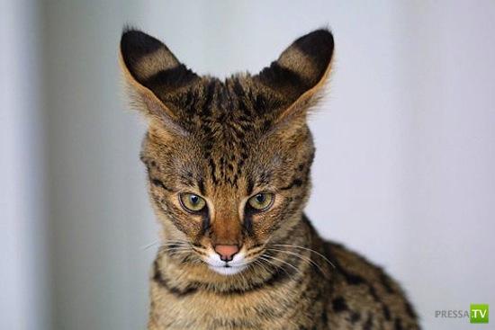 Удивительные породы животных, выведенные человеком (9 фото)