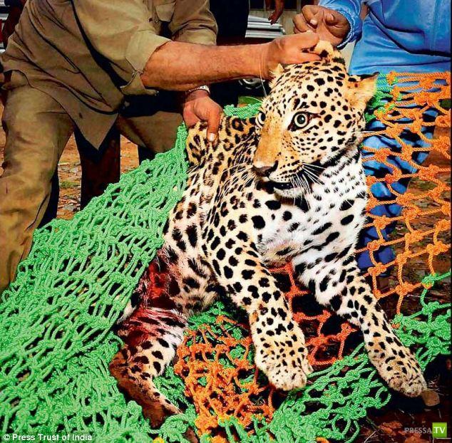 Несчастье с леопардом в Индии (4 фото)