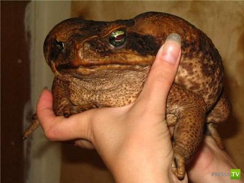 Ага или тростниковая жаба (Bufo marinus) - самая большая в мире (3 фото + видео)