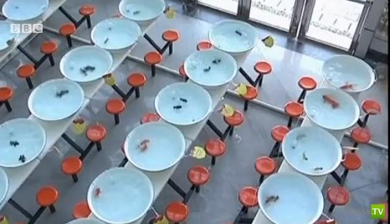 В Китае состоялся первый в мире Конкурс красоты среди золотых рыбок (видео)