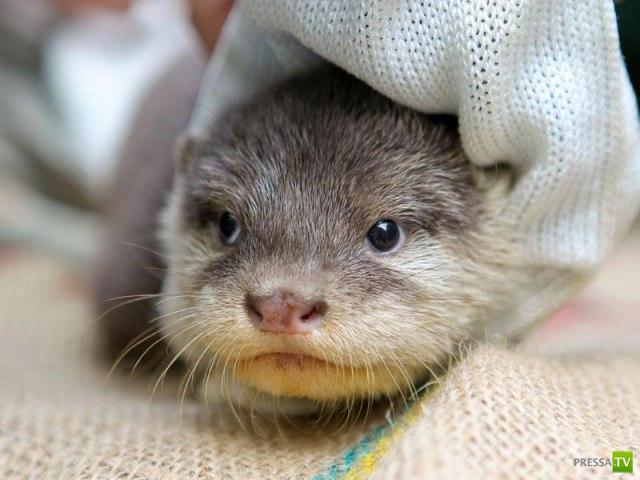 В зоопарке австралийского города Перт родились выдрята (8 фото)