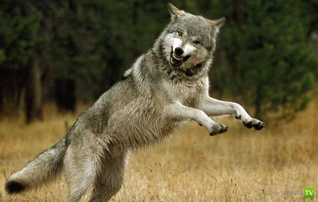 Шесть лет прожили с волками... (14 фото)