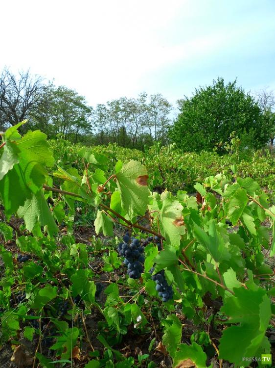Вино из Бессарабии (20 фото)