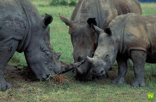 Самый большой носорог в мире живет в Африке (2 фото + видео)