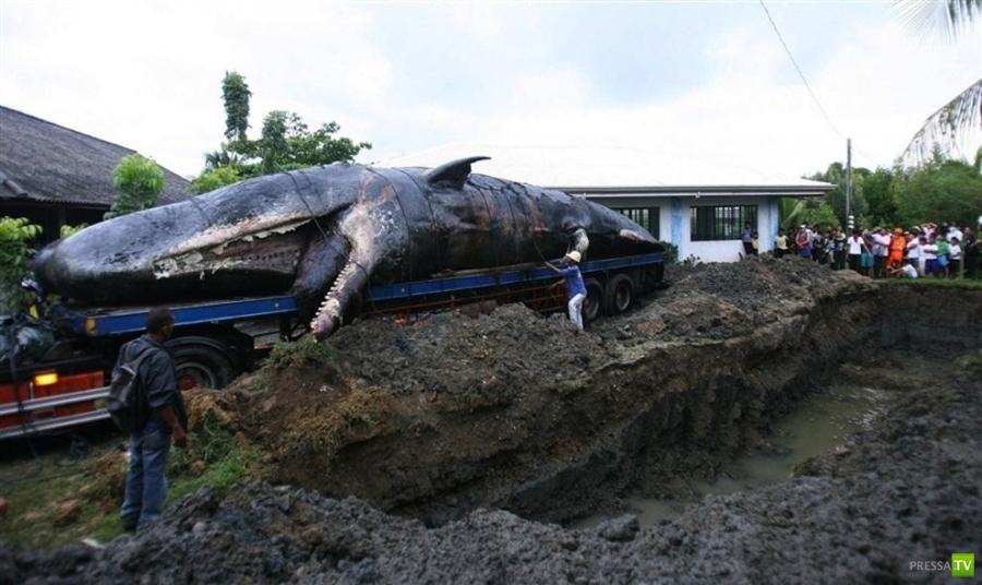 Беременную самку кашалота похоронили на рыбном кладбище (6 фото)