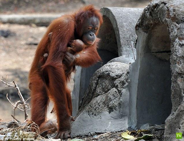 Даже обезьяна бросила курить (6 фото)