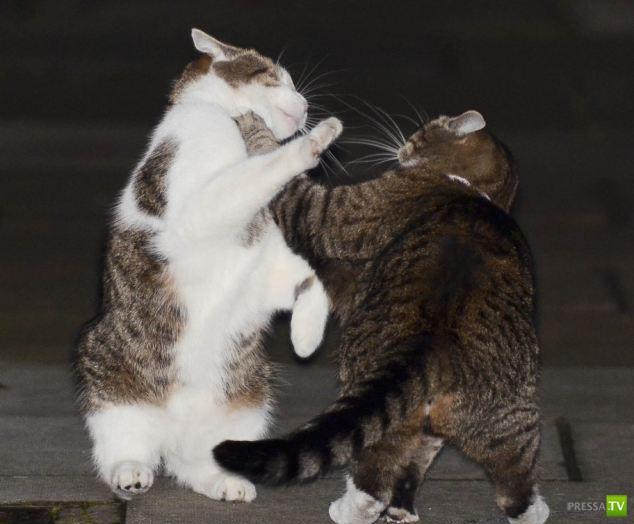 Новый главный кот Великобритании подрался со старым (4 фото)