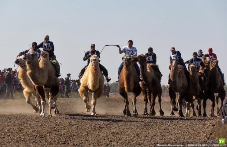 Верблюжьи бега-2012 (17 фото)