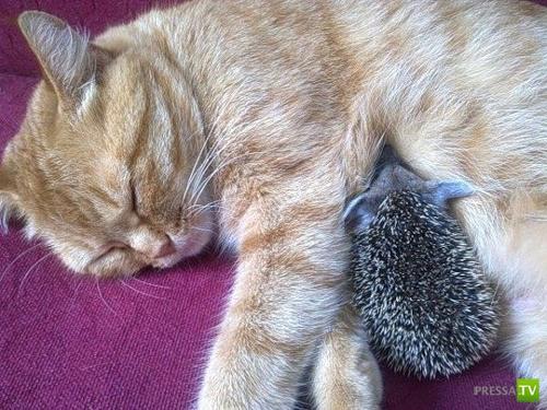 Кошка Соня усыновила ежат (18 фото)