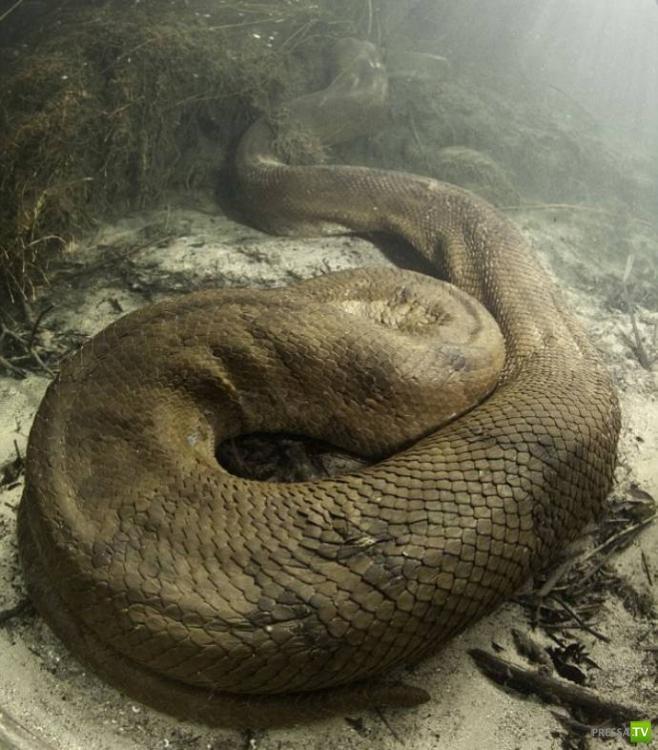 Самая большая змея (7 фото)