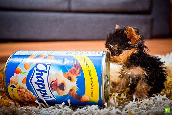 Самый маленький щенок в мире ... (11 фото)
